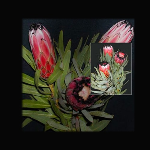 Pink mink protea proteas and leucadendrons flowers by category added by sierra mightylinksfo